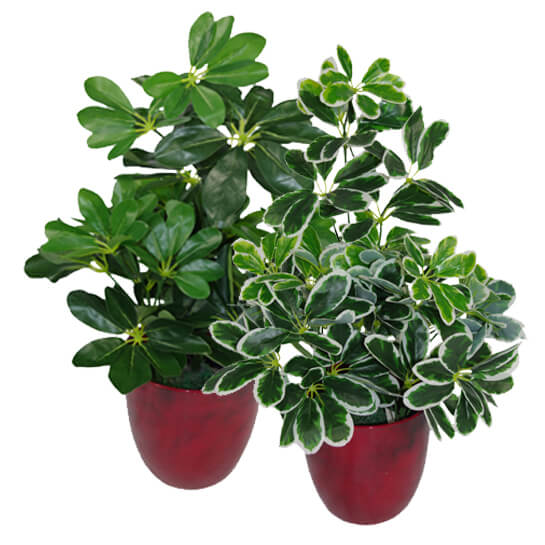 Umbrella Plant Toxic: 55cm Artificial Schefflera Arboricola Umbrella Tree