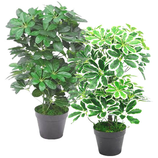 Umbrella Plant Toxic: 60cm Artificial Schefflera Arboricola Umbrella Tree